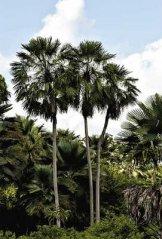 Carnaúba é uma árvore endêmica do nordeste brasileiro. Reprodução: Internet