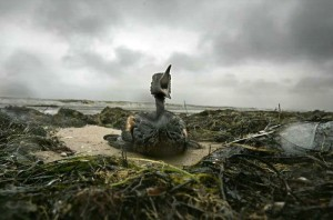 Um filhote de pássaro agoniza, após derramamento de óleo na Baia de Todos os Santos