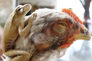 Caso raro: galinha abandona seus 3 pintinhos e adota um sapo. Os dois vivem inseparavelmente no quintal de dona Mazé, no bairro Bom Sucesso.