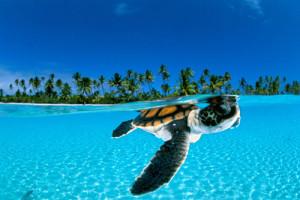 Espécie rara de tartaruga marinha é encontrada nas águas do arquipélago Fernando de Noronha