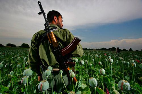 Soldado vistoria campo de papoula